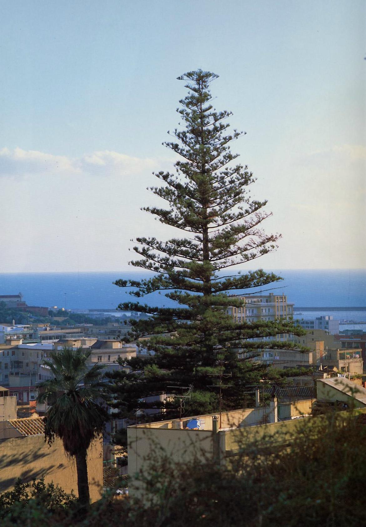 L'Araucaria, l'albero più alto della Sardegna con i suoi 39 metri di altezza